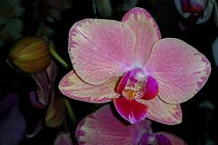 Phalaenopsis 1 (Jos M. Arboleda) Tags: planta flor orqudea phalaenopsis popayn colombia samsung galaxy s5 smg900m jose arboleda josmarboledac