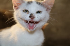 hello a smile for you !!! (excellentzebu1050) Tags: kittens cat pet closeup farm animalportraits animal indoors kitten coth5