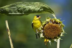 goldfinch on sunflower ( explored ) (G_Anderson) Tags: goldfinch missouri summer birds sunflower urban garden