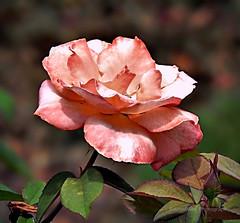 Beautiful Apricot Rose (AngelVibePhotography) Tags: roses garden blossoms macro blossom flower photography nikon nikonp900 nature closeup apricot flowers rose northcarolina outdoor plant