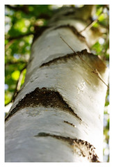 """Birch Sensations 2 • <a style=""""font-size:0.8em;"""" href=""""http://www.flickr.com/photos/134137971@N02/29276434583/"""" target=""""_blank"""">View on Flickr</a>"""