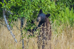 bear1Aug14-16 (divindk) Tags: albeecreekcampground california commonname humboldtredwoods other places scientificname unitedstates ursusamericanus weott bear blackbear camping grass