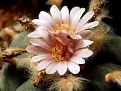 Lophophora flower (Skolnik Collection) Tags: lophophora flower cactus mexico skolnik collection