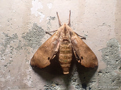 Marumba gaschkewitschii echephron (Shiori Hosomi) Tags: 2016 september japan tokyo 23  insects entomon              moth sphingidae lepidoptera marumba noctivagant noctuary nocturnal night