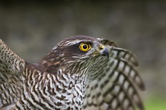 Focused (dtrsommer) Tags: hawk bird fligh animal close up colour yellow