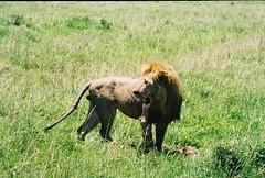 Lion in the Mara ! (Mara 1) Tags: africa masai mara wildlife animal lion male outdoors mane legs face