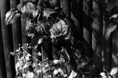 PARCELLE 16-034_07 (gyjishukke) Tags: noiretblanc monochrome argentique analog minoltax700 50mm believeinfilm shootfilm ilford delta400 800iso selfdevelopment scanlowdef hc110b 10 20 fleur feuille vgtal palissadebois nervures veines tude bw