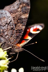 butterfly (haraldu2) Tags: wild wildlife insekt butterfly summer closeup animal collor garden nature