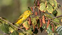 Yellow Warbler (Bob Gunderson) Tags: birds california elkglenlake goldengatepark northerncalifornia sanfrancisco setophagapetechia warblers woodwarblers yellowwarbler