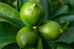 Lime (natures-pencil) Tags: lime fruit botany citrus foliage green scaleinsect
