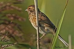 REED BUNTIN  (F)  OARE MARSHES / KENT / U.K (Tom Webzell) Tags: naturethroughthelens
