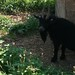 Billy Goat from La Finca