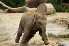 2.Grab that banana and....run (K.Verhulst) Tags: rotterdam blijdorp elephants nl olifant blijdorpzoo olifanten diergaardeblijdorp rotterdamzoo aziatischeolifant asiaticelephants