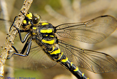 Golden Ringed Dragonfly (Cordulegaster boltonii) (spw6156) Tags: light copyright golden dragonfly low steve  ringed waterhouse 640 cordulegaster boltonii macroiso