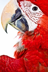 Red (⌯ ̟՝˻ п̵м̱ọ̯͡໐яྀα ˺ ໋, ৩՞) Tags: red portrait bird eye birds animal canon flickr 5 award parrot 600 blink qatar t3i qtr 600d ameera amoora