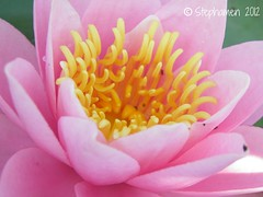 Water Lily (Stephamen) Tags: summer flower fleur rose yellow jaune waterlily lotus t ptals 2011 stephamen