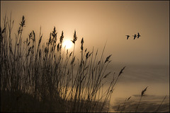 3 Mallard Ducks (adrians_art) Tags: plants mist nature water weather birds fog sunrise reeds wings flight silhouettes rivers fowl riverbank mudflats mallardducks