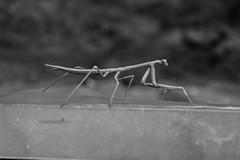Preying Mantis Macro (MarkFromAdelaide) Tags: white black macro up mantis close praying preying