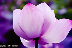 Beautiful flower ( Nana) Tags: nature beauty colorful natural lotus natureza taiwan   taiwan beautifulflower bewiahn
