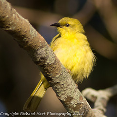 Yellow Honeyeater (SillyOldBugger (in and out of internet range)) Tags: wild bird beach australian australia aves queensland honeyeater handheld avian wildbird yellowhoneyeater lichenostomusflavus minolta3004hsg sonya55 sonyalpha55 sonydslta55 wildbirdaustralia minolta300f4hsglens sony14apoteleconverter a55birdingrig carmilabeach