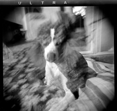 the famous basenjidoodle. ultra dog[s]. (bunchadogs & susan [off-reformatting hd]) Tags: dog jones holga doubleexposure basenji standardpoodle schubert fomapan thelittledoglaughed homedevelopedwithcaffenolc ldlnoir