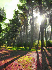 These will be the last (Steve Taylor (Photography)) Tags: trees shadow newzealand 2 christchurch sunlight sunshine 22 condemned earthquake canterbury nz quake fir southisland tall february sunlit conifer subsidence 2011 thelast breakinthetrees