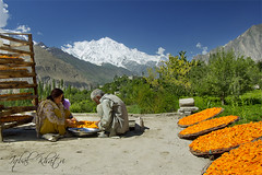 Life at Hunza (Iqbal.Khatri) Tags: life pakistan industry home fruit apricot production agriculture rakaposhi hunza producers drying gilgit baltistan khubani northpakistan iqbalkhatri hunzanagar