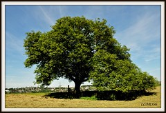 Walnussbaum (Juglans regia) (LOMO56) Tags: juglandaceae juglansregia nusbaum laubbume persianwalnut baumnuss walnusbaum echtewalnuss