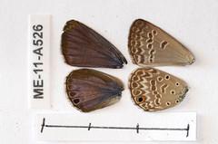 ME-11-A526 Euchrysops subpallida (lepdatabase) Tags: zambia lycaenidae polyommatinae polyommatini euchrysops subpallida