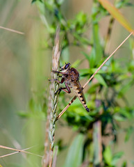 """Robber Fly_#2119 (McConnell Springs) Tags: fly lexington kentucky mcconnellsprings robberfly """"lexington mcconnellspringspark ky"""""""