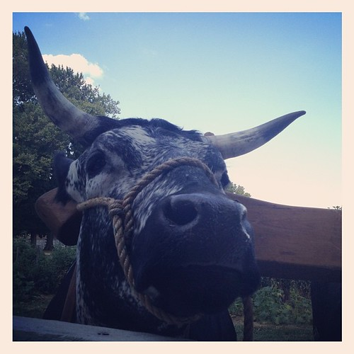 My new friend... Lars! Ox at Shakertown at Pleasant Hill. http://www.shakervillageky.org/