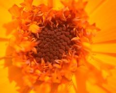 Marigold (Stephen Whittaker) Tags: orange flower macro closeup nikon close bokeh pov marigold d5100 whitto27 whito27