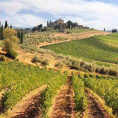 Chianti vineyards and olive gardens in Tuscany (Bn) Tags: red summer italy sun sunlight holiday colour green leaves florence topf50 cherries strada italia berries bright wine small grow dry visit hills vineyards tuscany grapes chianti fields strong farms wildflowers siena taste roads radda product toscane region topf100 plums fruity greve produced rubby vino flourish discover wijn bottling sangiovese cellars cultivated classico castellina hillsides harmonious 100faves 50faves