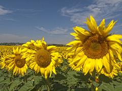 Girasoles (Marin2009) Tags: