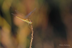 With the light II (photosenvrac) Tags: macro nature soleil bokeh flare libellule thierryduchamp