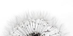 Gossamer (Droogl) Tags: black white blanc noir bw bn dandelion
