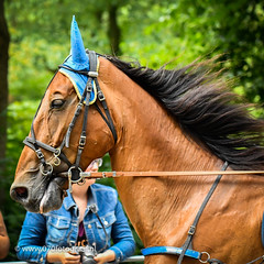 070fotograaf_20160728_047.jpg (070fotograaf, evenementen fotograaf) Tags: harnessracing racing draverij drafsport paardensport paardesport harness paardenmarkt holland netherlands nederland 070fotograaf kortebaandraverij voorschoten 2016 paarden draven kortebaan