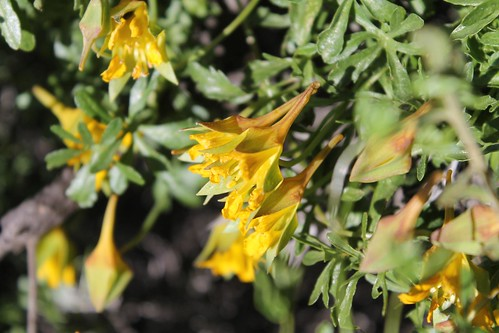 Tropaeolum myriophyllum