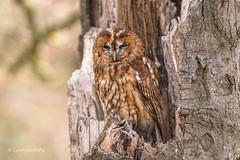 Tawny Owl (Strix aluco) D75_3405.jpg (Mobile Lynn) Tags: england nature birds unitedkingdom gb captive owls tawnyowl fritham