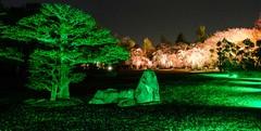 Nijo Castle Gardens III (Douguerreotype) Tags: dark tree garden cherryblossom blossom kyoto castle cherry park night japan sakura