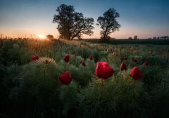 The first sun rays (emil.rashkovski) Tags: peony wild flower morning sun sunrise spring bulgaria rashkovski nature colors field tree valley green red