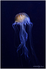 DSC_1917-1 (philippe provost) Tags: mduse jellyfish blue bleu