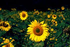 Sonnenblumenmeer (floschn84) Tags: sonnenblumen schwarzwald 2016 gelb yellow sunflowers blhendepflanze farbenfro