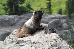 Marmot (jlcummins - Washington State) Tags: mountrainiernationalpark washingtonstate lewiscounty hike hoarymarmot