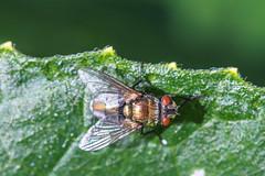 fly (EdgarJi) Tags: macro 6d nature bug insect