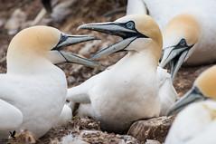 Back off man! (Osprey-Ian) Tags: canada gannet bonaventureisland perce