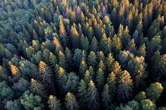 Forest (sakarip) Tags: sakarip trees spruce piceaabies metsikk mets forest kuusikko finland canopy north northern wald skog