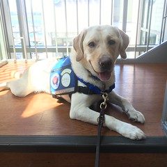 Calvin practices his modeling poses for the Carhartt fashion show (hero dogs) Tags: dog labrador cute therapydog servicedog