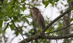 7K8A3892 (rpealit) Tags: scenery wildlife nature east hatchery alumni field hackettstown green heron bird