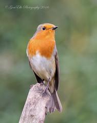 Robin the perch (GemElle Photography - struggling to keep up) Tags: gemelle gemellephotography gemelle1 nikon sigma d610 50500 bird robin redbreast
